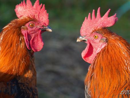 Nos poules et coqs de Marans