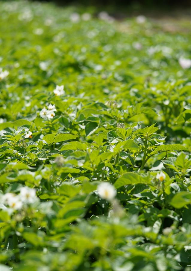 Les pommes de terre en fleur