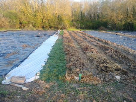 Plantation des pommes de terre en MSV