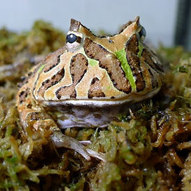 horned frog.jpg