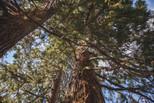 Les séquoias centenaires du Grand Petit Prince