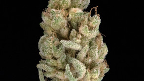 BUDTENDER REVIEW: CANDY QUEEN BY FALCANNA