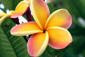 hawaiian-flower-names-flower-names-flowe