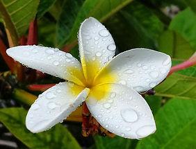 CLA-white-plumeria.jpg