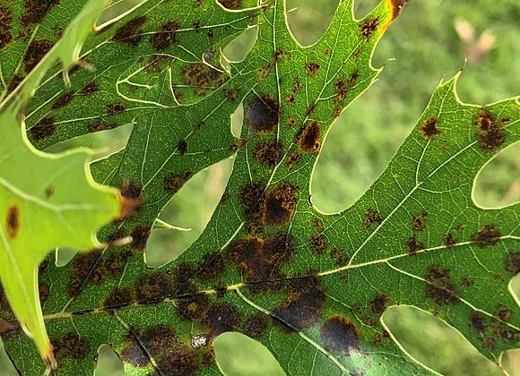 Fungicide Treatment