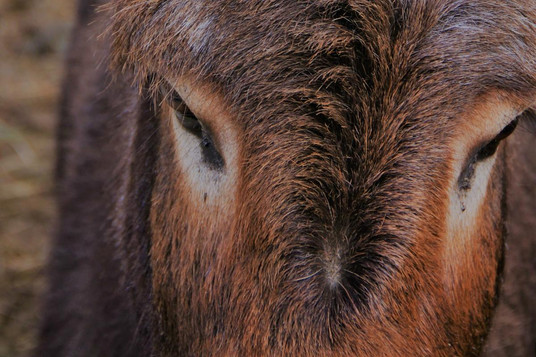brown donkey (2).jpg