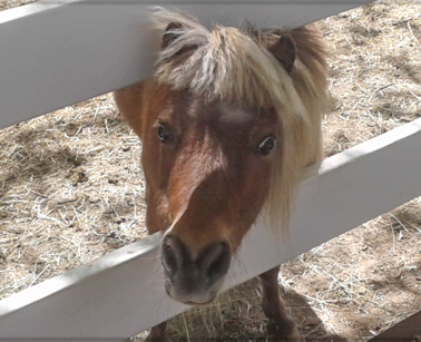 Dolly the Mini-Horse