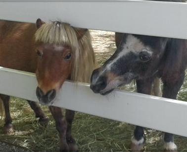 Our Mini Horses