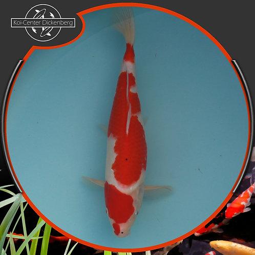 Maruten Kohaku, 41cm