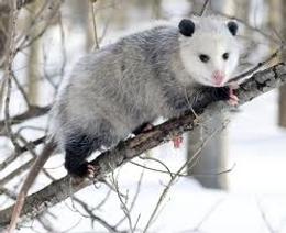 A marsupial carbnivore