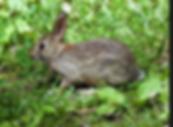 The common local rabbit, herbivore