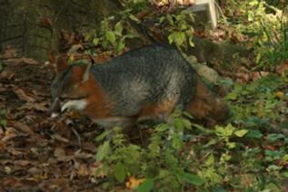 medium sized carnivore, black stripe down top of tail