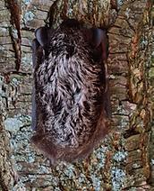 Small solitary bat