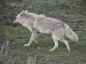 Good sized canine predator, tail down while running