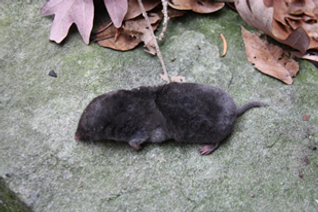 Mouse sized carnivore, one of three venemous mammals