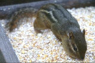 Ground dwelling herbivore, can be abundant