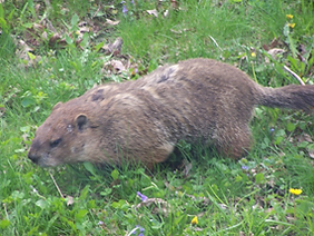 Large burrowing herbivore