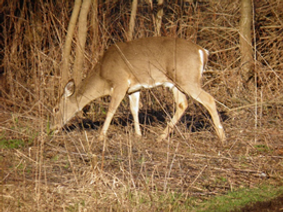 Large herbivore, males have antlers in the fall and winter