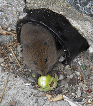 Small ears and short tail, abundant in open areas