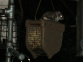 Nocturnal, half the size of regular squirrels, glides between trees