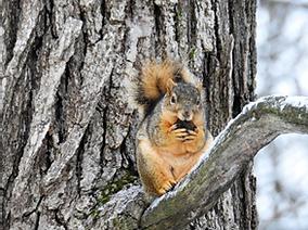 Savannah squirrel with orange highlights in their tail