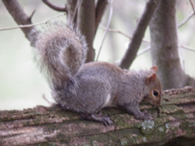 Squirrel of thick forests, note cray highlights in tail