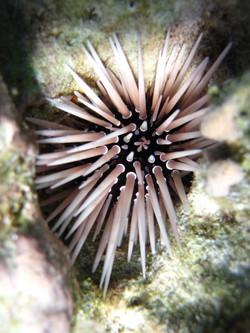 Echinometra mathaei moorea.JPG