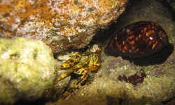 Crab and Cowry 11-5-10.JPG