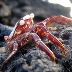 Crab Oahu.JPG