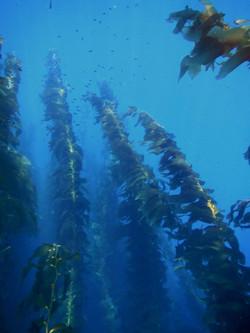 kelp2.jpg