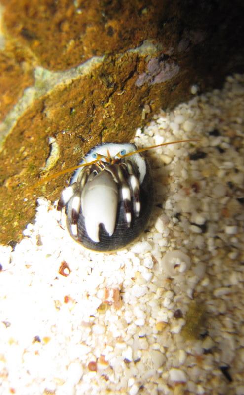 Hermit Crab 11-5-10.JPG