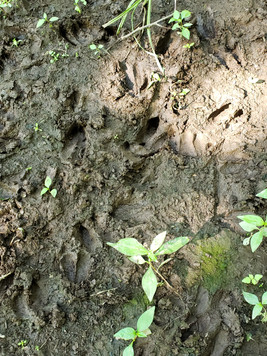 Deer prints in the mud.