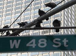 The 48th Street Birds