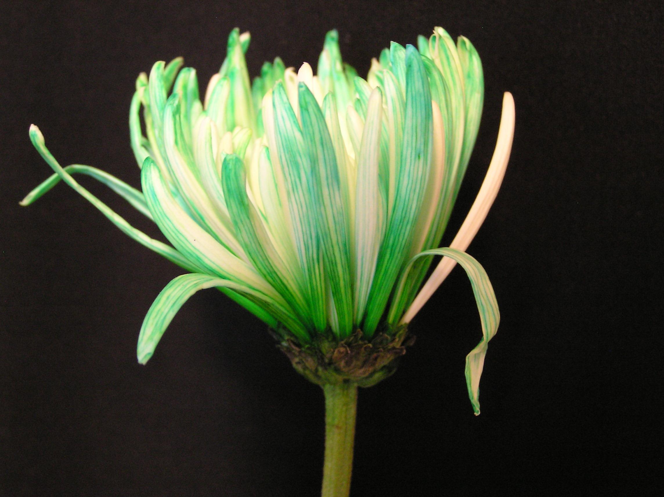 St Patricks Day Studio Flower