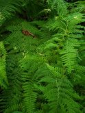 Ferns in rich green hues.