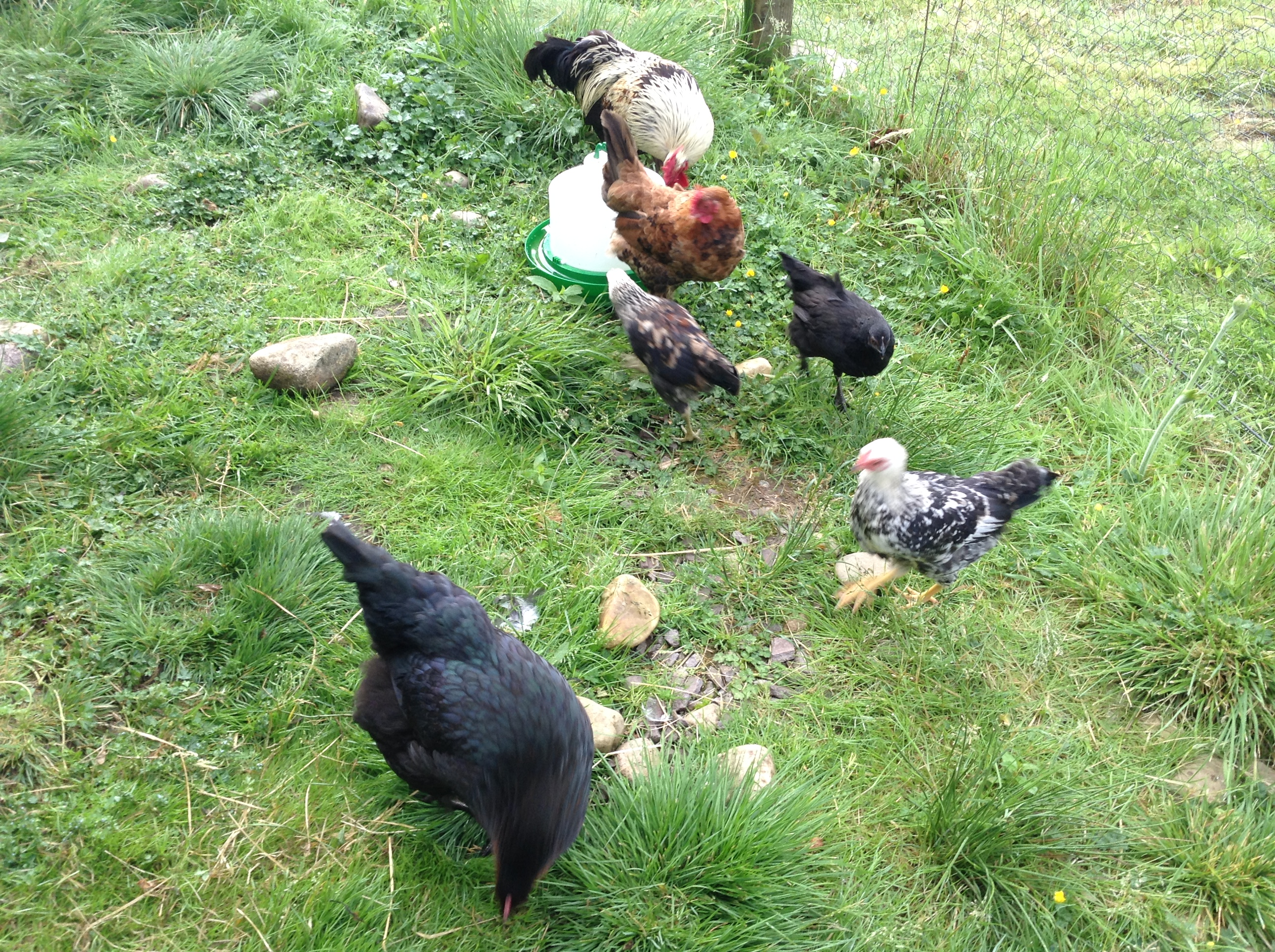 Comraich chickens!