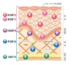 老化の原因はGFの減少。