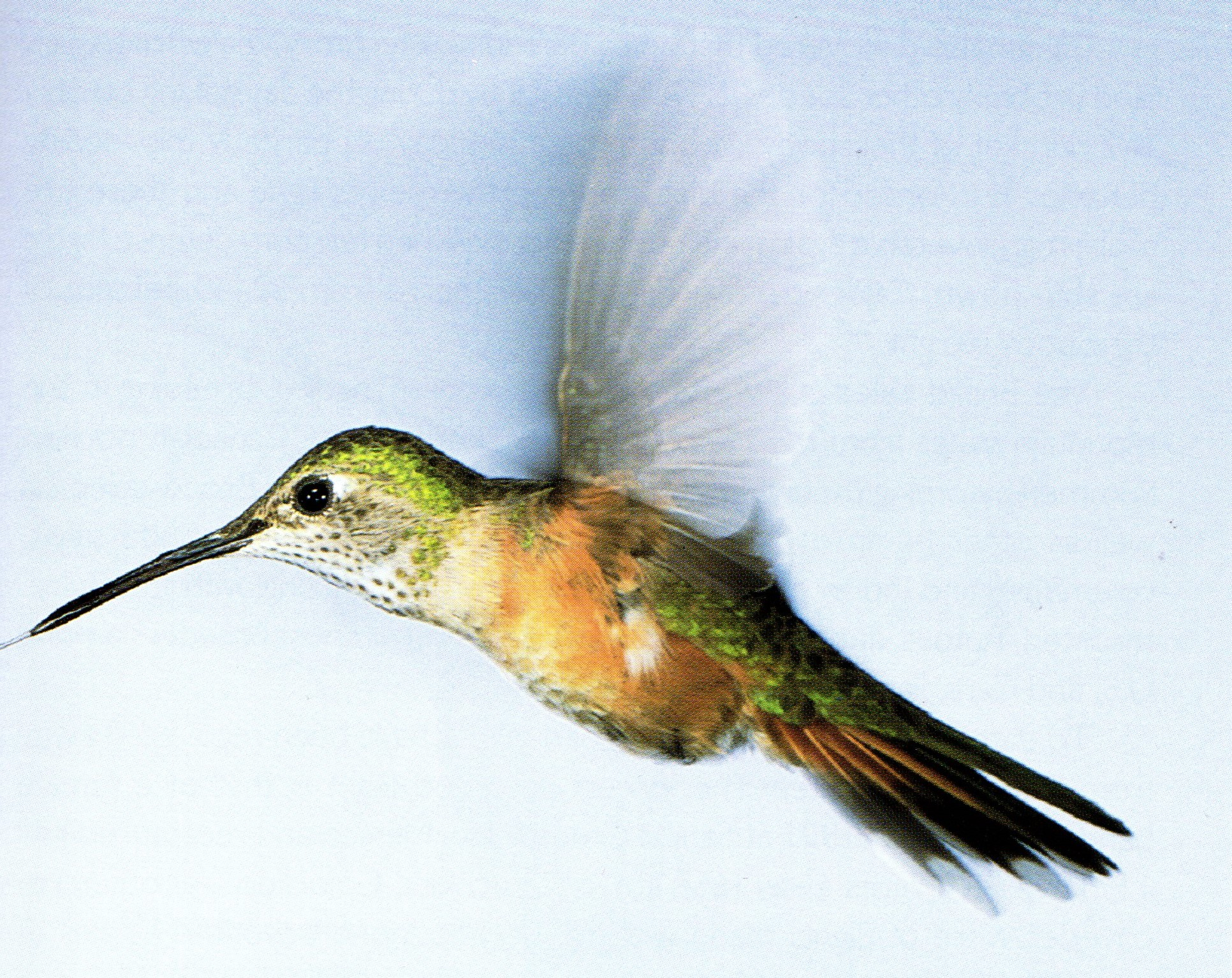 Broad Tailed Female Hummingbird