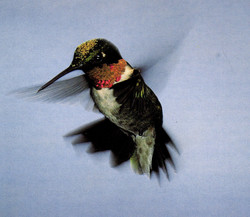 Male Ruby-throated w/pollen on head
