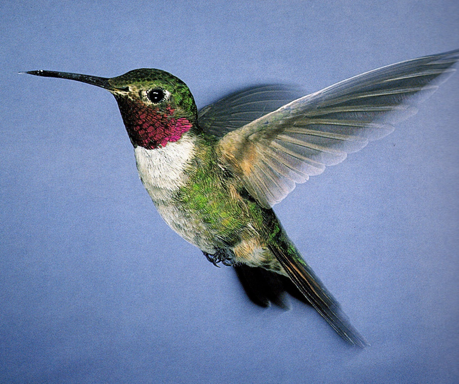 Male Broad Tailed