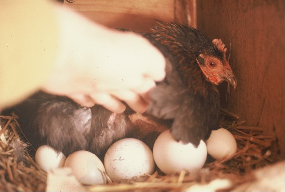 Banty hen brooding Lucy as a egg.