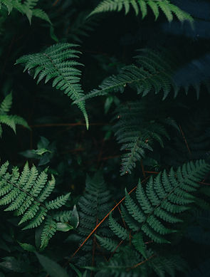 Folhas do fern