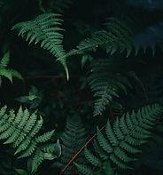 feuilles de fougère