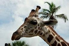 Naples, FL Zoo giraffe