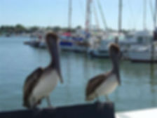 Pelicans on dock, Naples, FL