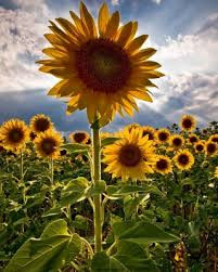 Perfect-Compliment-Sunflower