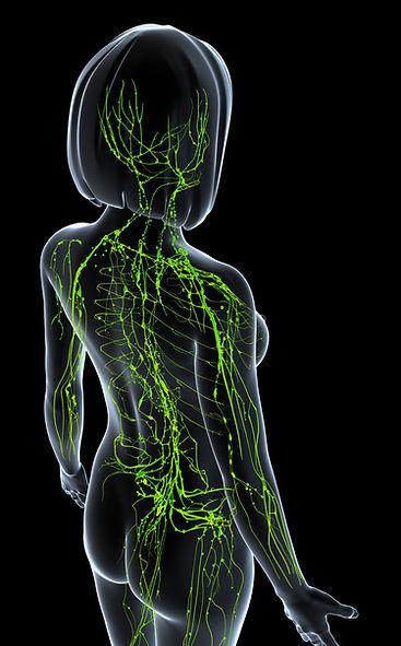 Vaisseaux et ganglions lymphatiques