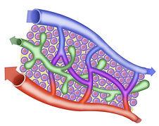 sang et lymphe, artère, veines, vaisseaux lymphatiques