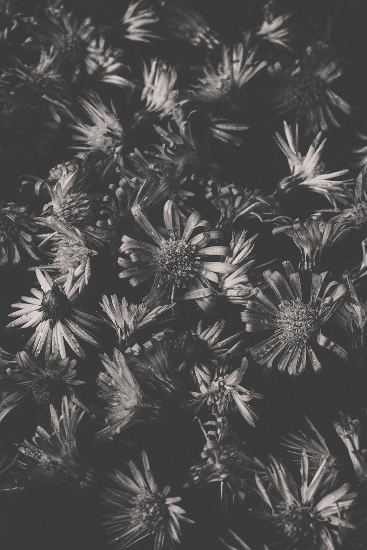 Daisies in black & white