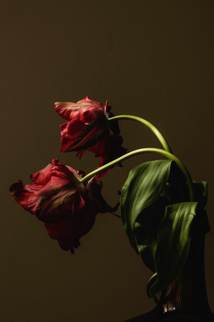 Franse tulpen